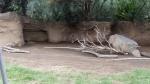 San Diego Zoo - Wallaby