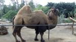 San Diego Zoo - Camel