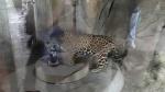 San Diego Zoo - Jaguar